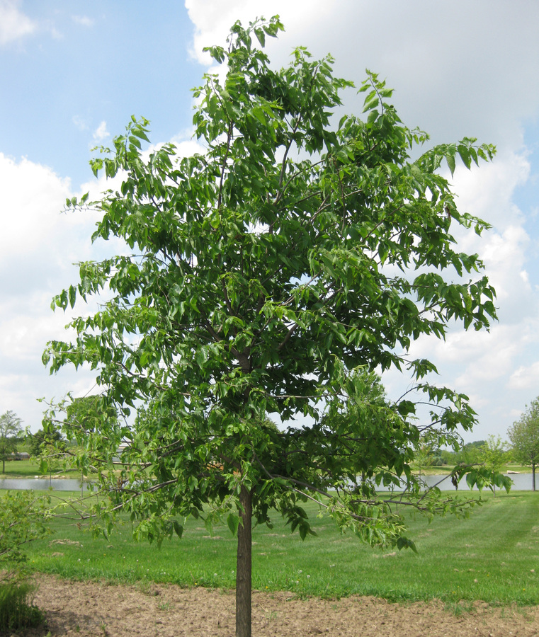 common_hackberry.jpg