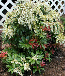 mountain_fire_pieris_flower.jpg
