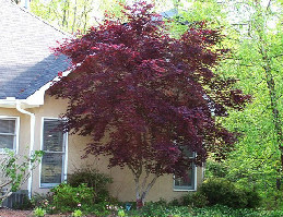 bloodgood_japanese_maple1.jpg
