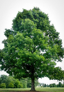 white-oak-3edited.jpg