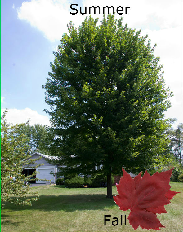 Autumn_Blaze_Maple_merge_1.jpg